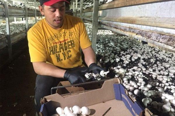 Công việc hái nấm ở Canada
