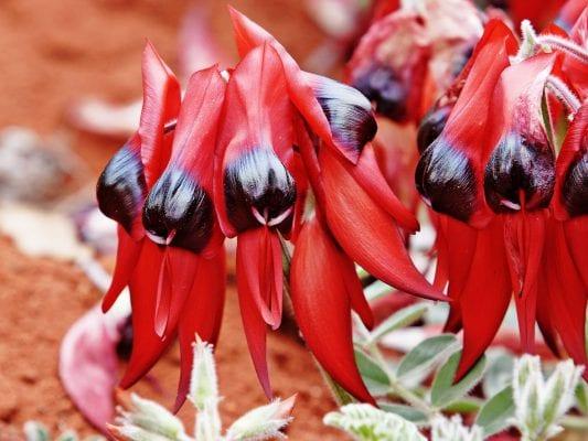 Sturts's Desert Pea là hoa biểu tượng của tiêu bang South Australia