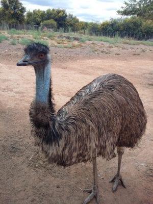 Đà điểu Emu - Loài chim lớn thứ 2 trên Thế Giới