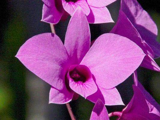 Hoa Cooktown Orchid có tên khoa học là Dendrobium bigibbum