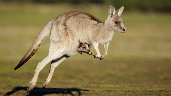 Kangaroo là biểu tượng của nước nào