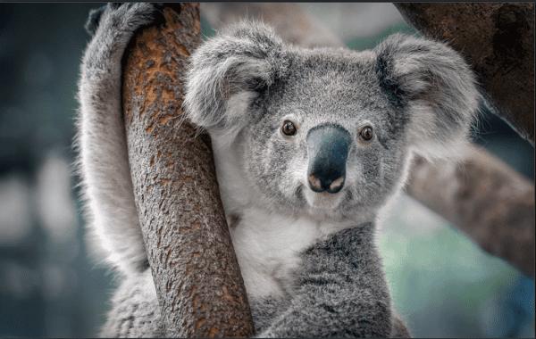 Gấu túi Koala cảnh báo sắp bị tuyệt chủng