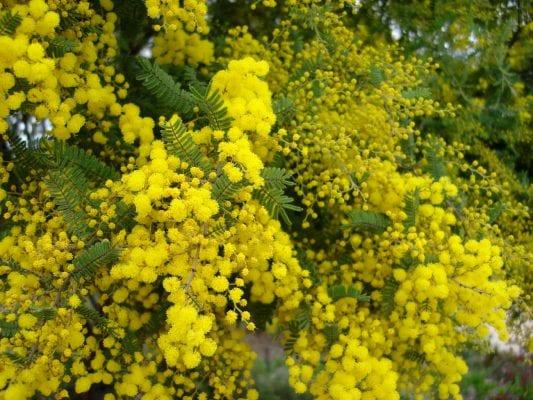 Hoa Golden Wattle là loài hoa mang ý nghĩa biểu tượng cho sự bền bỉ