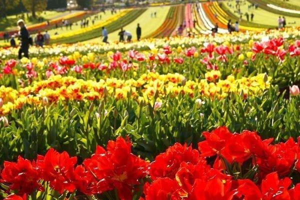Mùa xuân ở Úc diễn ra nhiều lễ hội hoa độc đáo
