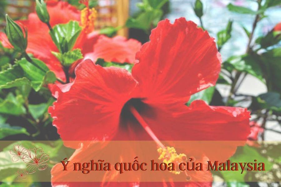 quốc hoa malaysia, quốc hoa của malaysia, ý nghĩa quốc hoa của malaysia, ý nghĩa của quốc hoa malaysia, quốc hoa malaysia có ý nghĩa gì, hoa dâm bụt được chọn là quốc hoa của đất nước nào, hoa dâm bụt là quốc hoa, hoa dâm bụt là quốc hoa của nước nào, hoa dâm bụt quốc hoa, hoa dâm bụt được chọn là quốc hoa của nước nào, hoa dâm bụt là quốc hoa của, hoa dâm bụt là quốc hoa nước nào, hoa dâm bụt là quốc hoa của quốc gia nào, hoa dâm bụt là biểu tượng của quốc gia nào, hoa dâm bụt là quốc hoa của đất nước nào, hoa dâm bụt được chọn là hoa của quốc gia nào, hoa dâm bụt được chọn là quốc hoa của quốc gia nào, hoa dâm bụt biểu tượng quốc gia nào, hoa dâm bụt được chọn làm quốc hoa của nước nào