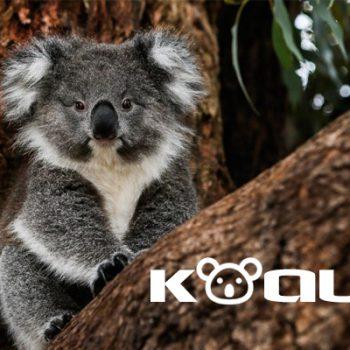 koala, gấu koala, con koala, gấu túi, khi nào gấu koala có thể sinh sống độc lập, koala bear, koala là con gì, gau tui, gau tui dau, kaola, gấu tui đâu