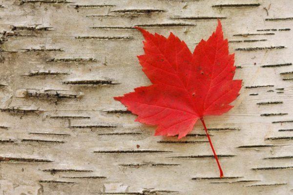 lá phong, lá phong đỏ, lá phong canada, ý nghĩa lá phong, ý nghĩa lá phong đỏ, lá phong đỏ canada, lá phong có ý nghĩa gì, lá phong là biểu tượng của nước nào, lá phong đỏ có ý nghĩa gì, lá phong đỏ tiếng anh là gì, lá phong ý nghĩa, hình xăm lá phong đỏ, lá phong canada hình ảnh, lá phong biểu tượng của canada, lá phong ở canada, ý nghĩa lá phong của canada